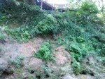 Japanese climbing fern below building