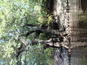 Big tree shadows 30.5415433, -82.7189933