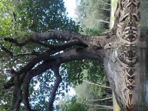 Island tree closeup 30.5542400, -82.7241000