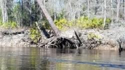 Roots closeup 31.0581150, -83.0411468