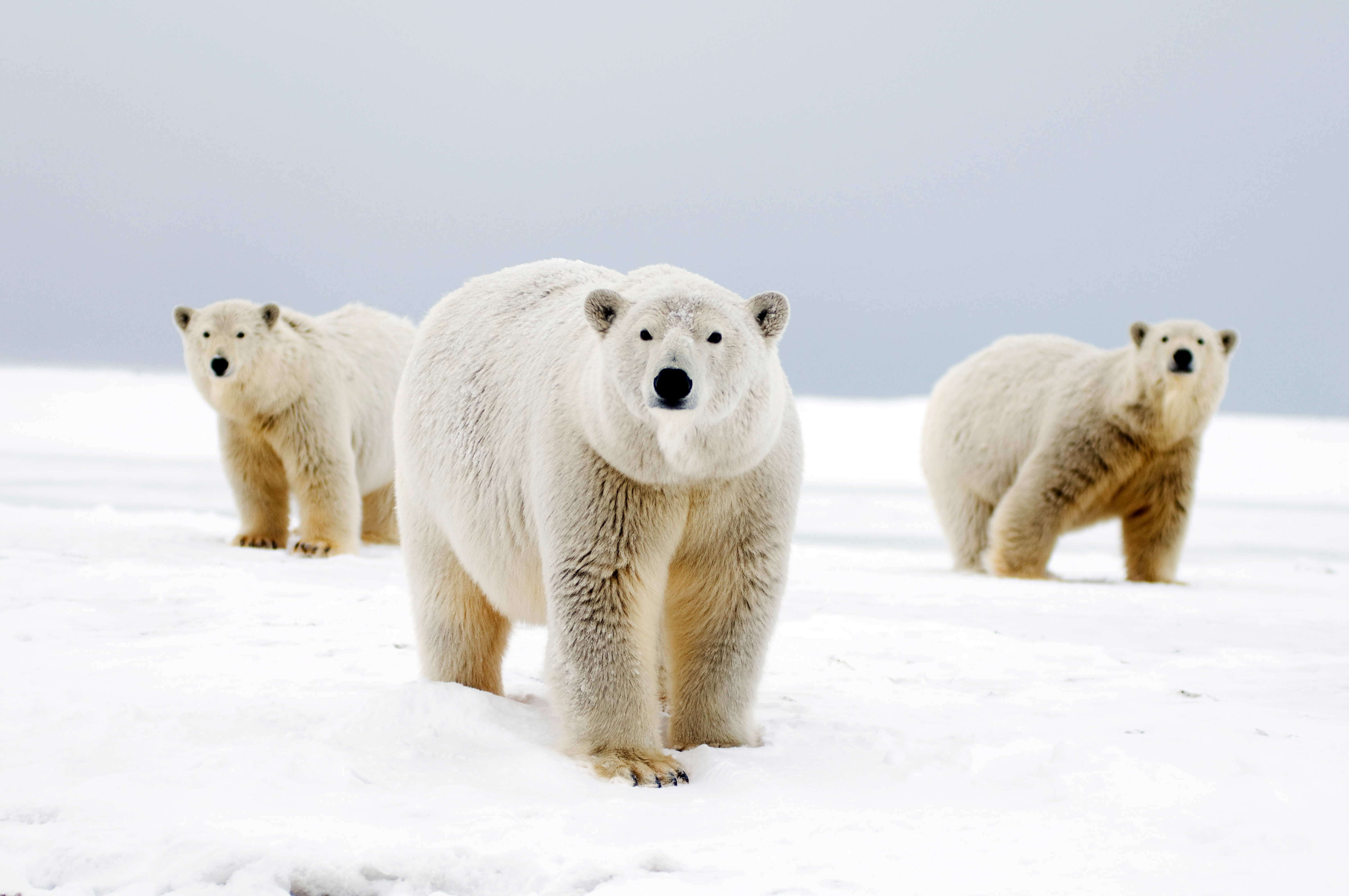 11 Facts You Didn T Know About Polar Bears