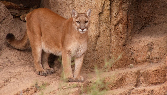 cougar_216421