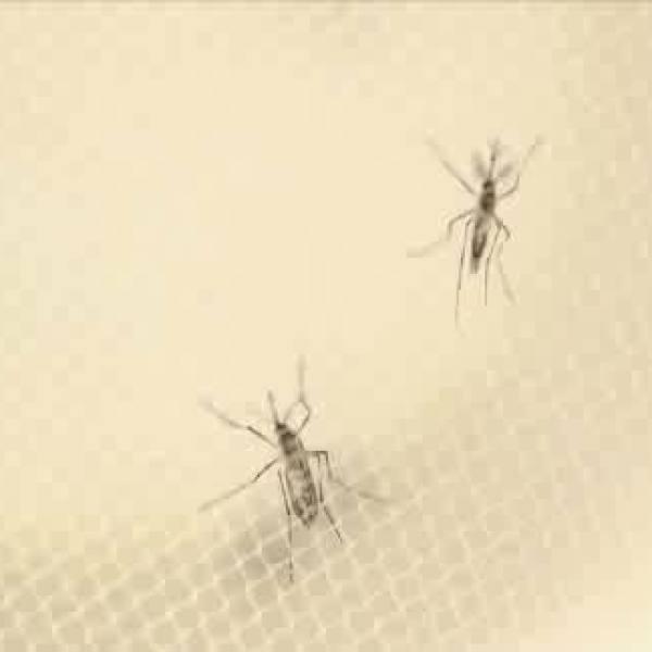 mosquitos_340393