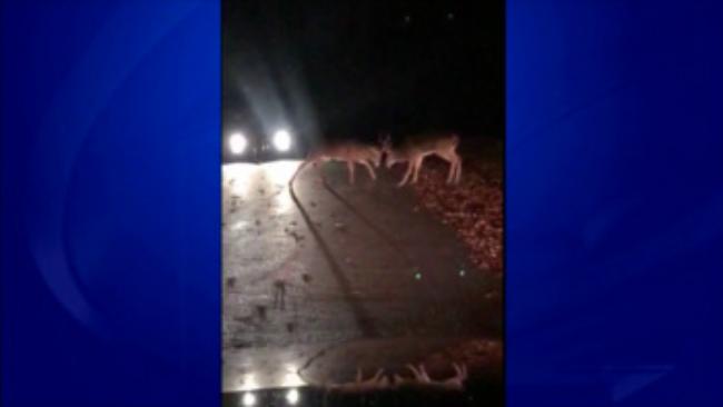 deer-fight-thumbnail_748448