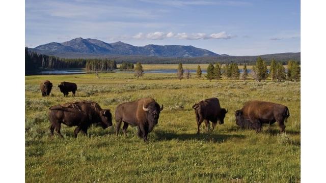 yellowstone-bison_39685570_ver1.0_640_360_1524992675437.jpg