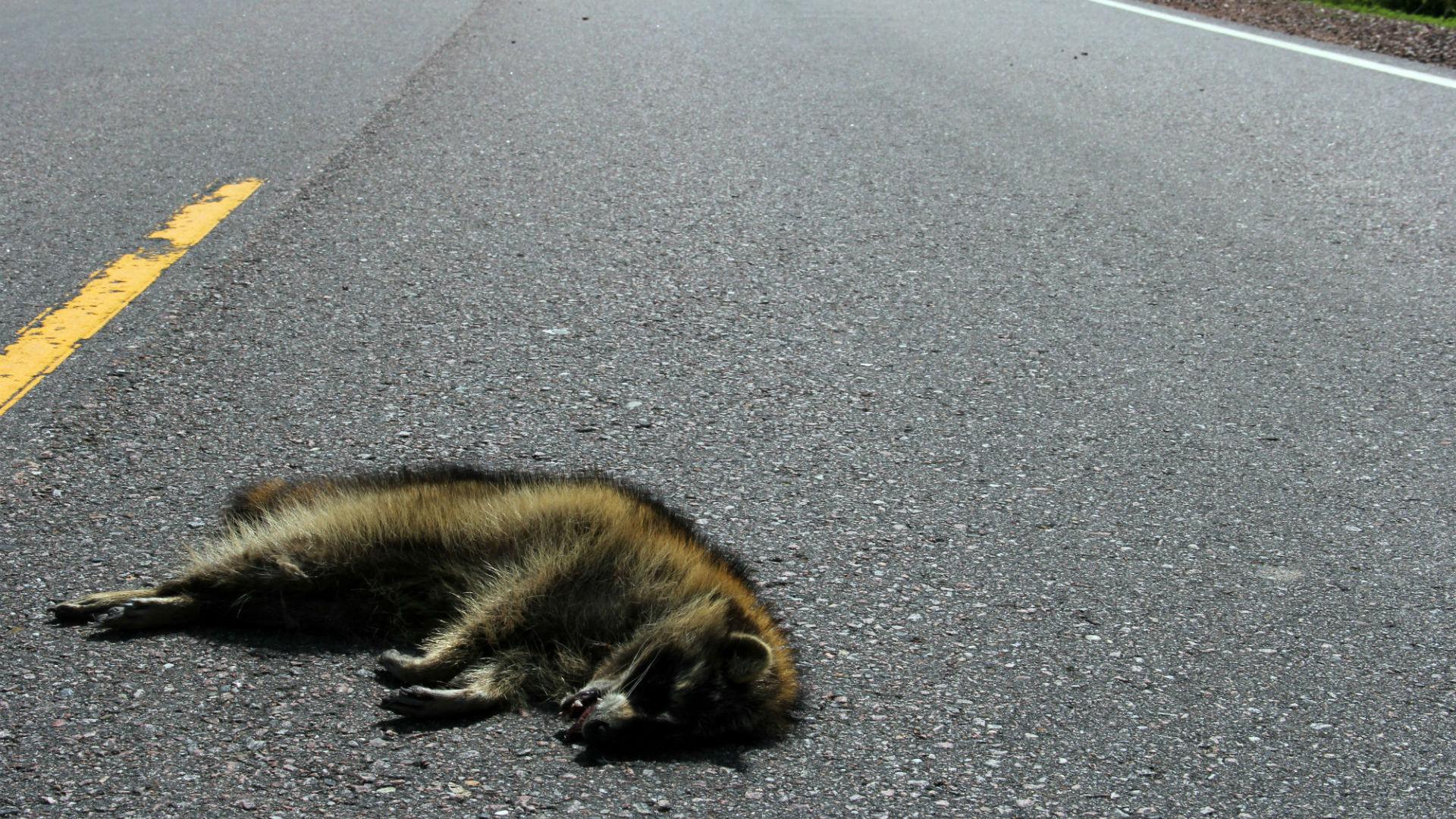 raccoon roadkill