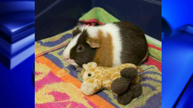 Charlie the quinea pig web_1555965599406.jpg.jpg