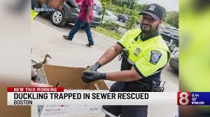 Duckling trapped in sewer rescued in Boston_1558776833624.jfif.jpg
