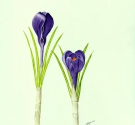 Carole Spooner Ventnor Botanical Artists Spring Exhibition 2017