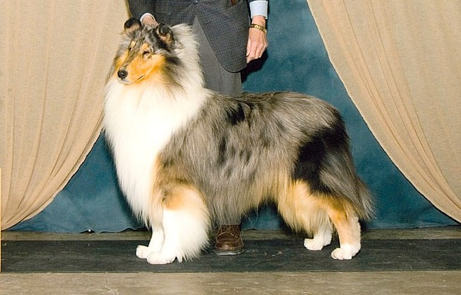 Blue Merle Collie - Indonesia