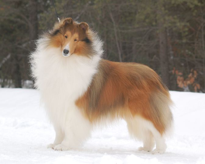 White-Factored Sable & White Collie - Ch. Wyndlair Polaris