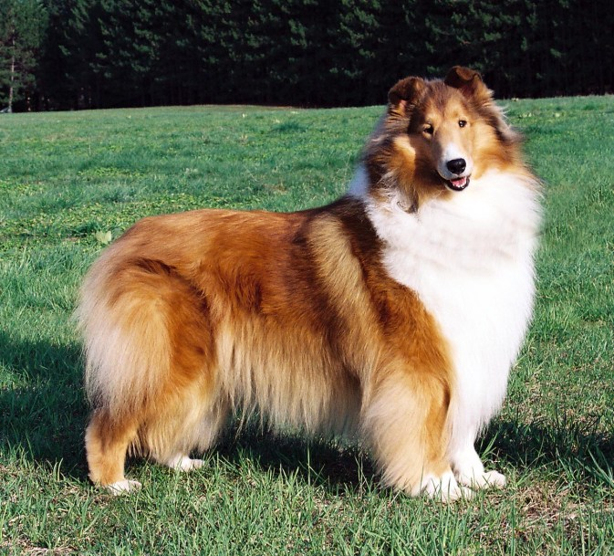 Sable Rough Collie - Ch. Wyndlair Treasure Island