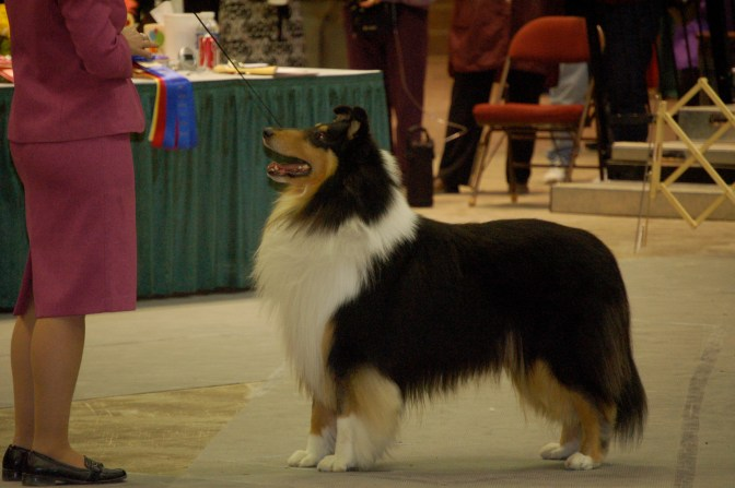 Tri-Color Collie - Ch. Southland's Turn Back the Time