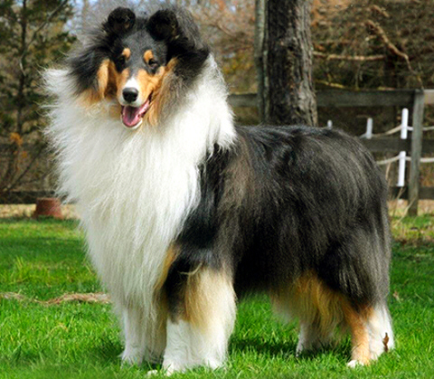 Ch. Wyndlair Cherokee Exclamation - Tri-Color Rough Collie