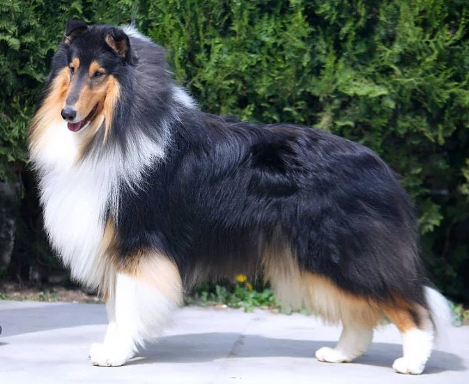 Tri-Color Collie - Ch. Wyndlair Dallinaire American Dream