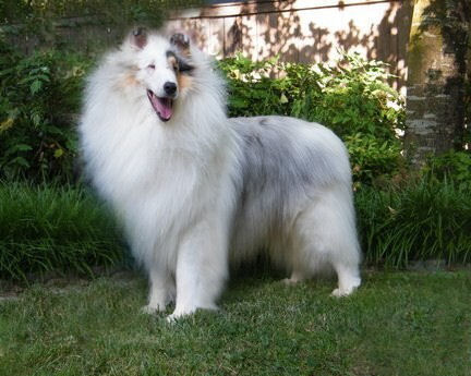 White Merle Collie
