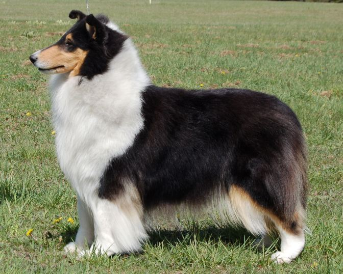 Tri-Color Rough Collie