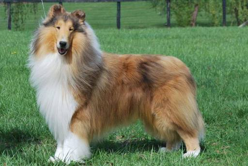 sable-merle-collie-countryview-give-my-regards