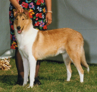 Sable Smooth Collie - Ch. Classique Cutting Edge, HIC