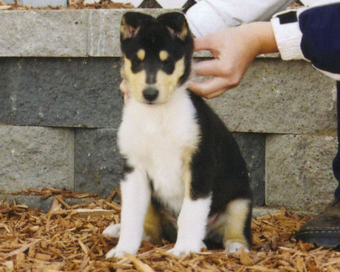 Smooth Tri-Color Collie Puppy - Ch. Wyndlair Baliclare Let's Roll