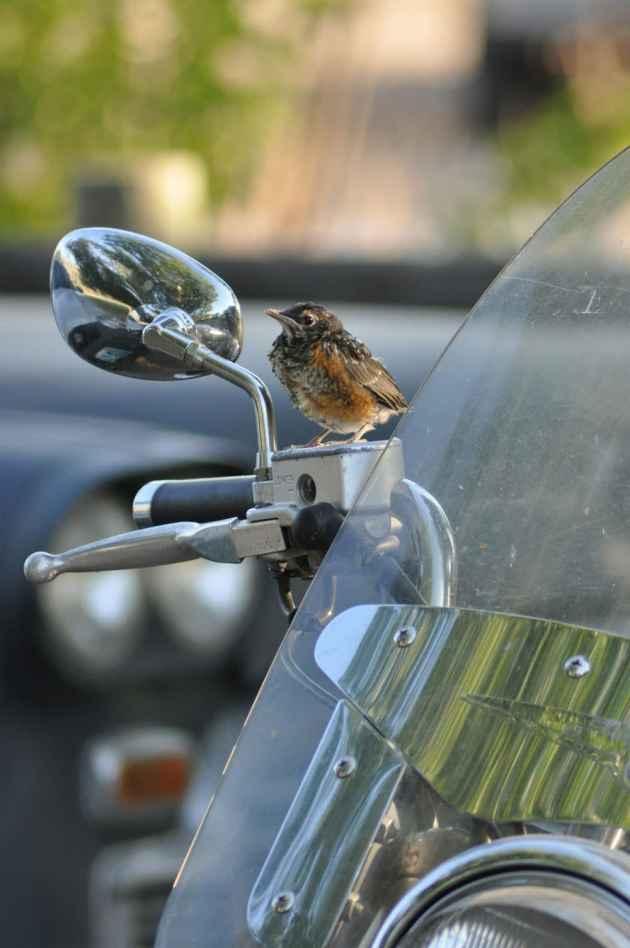 Biker Bird