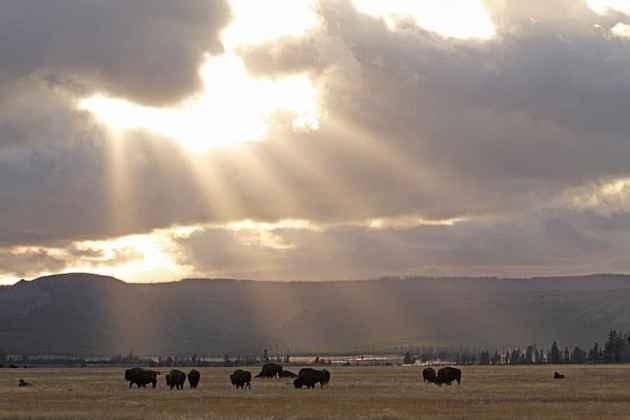 Beamed Buffalo