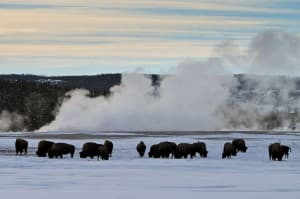 Bison are still a staple of wildlife viewing in Yellowstone National Park in winter