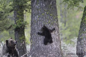 Adult males are the first bears to emerge. Females with cubs come out of hibernation later in the spring. (Photo Courtesy Gary Pollock, Grand Teton National Park).