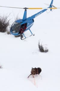 Wyoming Game and Fish capture a moose to fit it with a GPS for part of a three year study. (Photo Courtesy Mark Gocke, Wyoming Game and Fish)
