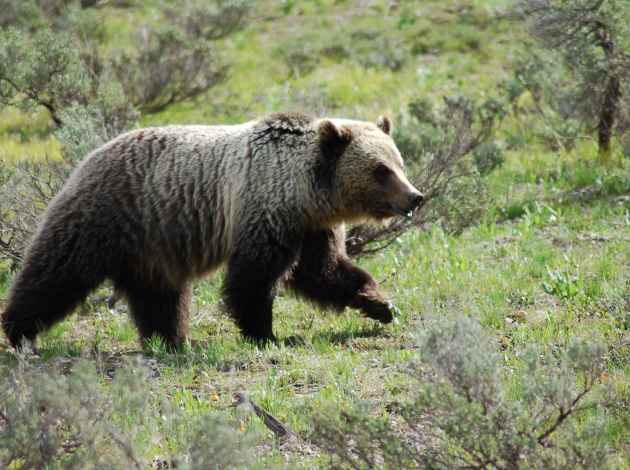 A bear near Pilgrim Creek Road two years ago. (Courtesy Jackie Skaggs with the National Park Service.)