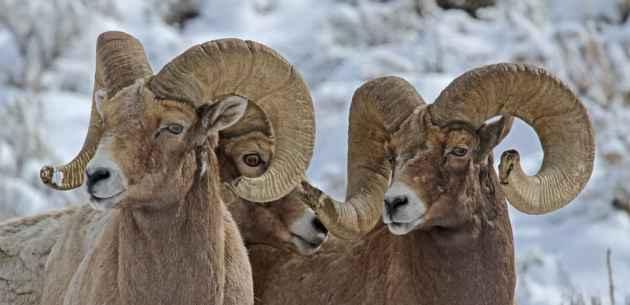 Three Big Horn Rams