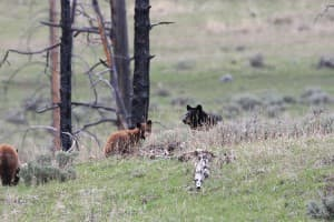 Bear mother and cubs in yellowstone (Barbara Cozzens - click to enlarge)