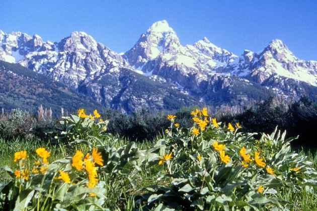Wyoming wildflowers (click to enlarge)