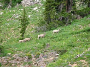A group of sheep grazes on green grass. Courtemanch found that 50 to 60 percent of lambs survive their first summer, which compares similarly with other herds in the region. Most lamb mortality occurs in the first few weeks after birth. (Photo by Alyson Courtemanch — click to enlarge)