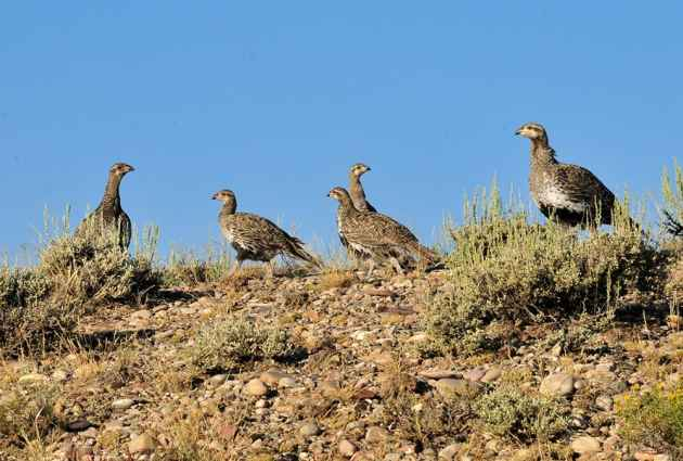 Greater Sage Grouse Hen with Brood on Seedskadee National Wildlife Refuge  A hen greater sage grouse and her brood head to Seedskadee NWR wetlands to spend the day. (Photo: Tom Koerner/USFWS - click to enlarge)