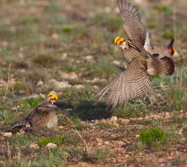 The lesser prairie-chicken is a grassland-nesting bird of the southern Great Plains. USDA NRCS. (photo by Linda Rockwell. - click to enlarge)