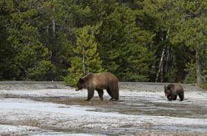 Grizzly sow and yearling near Daisy geyser (photo by Jim Peaco)