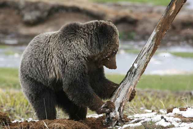 This year provided bears with a variety of natural food sources. (photo by Jim Peaco — click to enlarge)