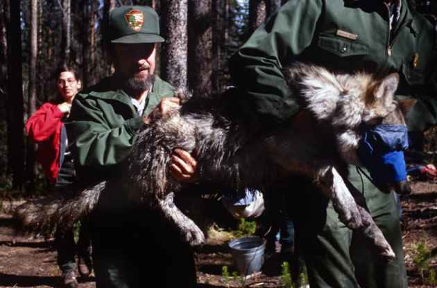 Park Service biologists carry a tranquilized wolf pup in Yellowstone National Park before they collar it with a radio transmitter during the wolf transplant project in the mid 1990s. Several groups that support predators are making increasing complaints about how large carnivores are treated in Wyoming. If Wyoming broadens its wildlife funding base beyond hunters, it will likely have to deal with those new constituents' views. (Angus M Thuermer Jr/WyoFile Ñ click to enlarge)