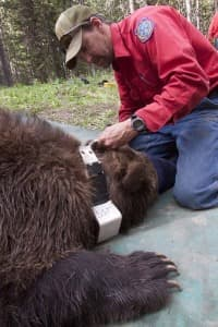 Dan Bjornlie fits a GPS collar on grizzly bear No. 179 on the Bridger-Teton National Forest. The bear was separated from its mother as a yearling and has led a long productive life. (click to enlarge)