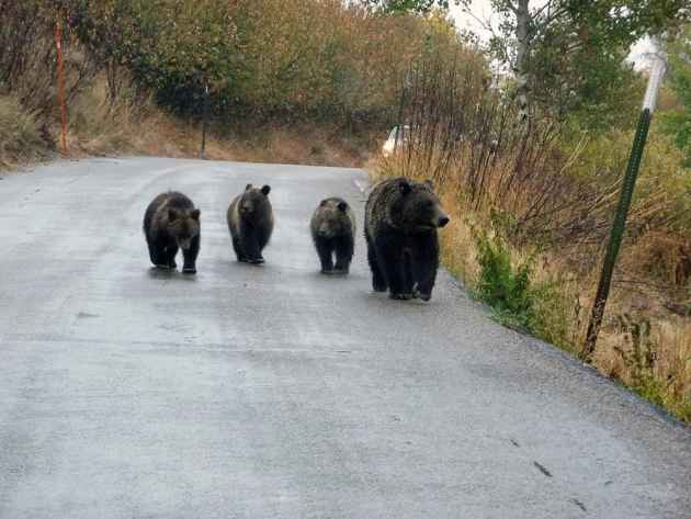 Grizzly bear #399 strolls with cubs on the Moose-Wilson Road. (courtesy Grand Teton National Park — click to enlarge)