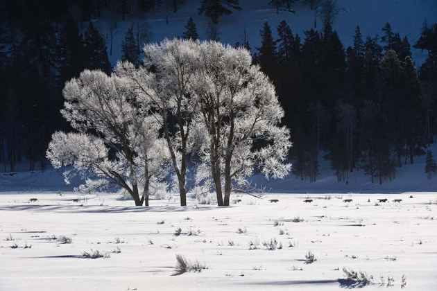 """Tom Mangelsen photographs all over the world, but one of his favorite places remains his backyard where he captures images like """"Druid's Frost Morning Passage"""" featuring gray wolves in Yellowstone National Park. (Tom Mangelsen — click to enlarge)"""