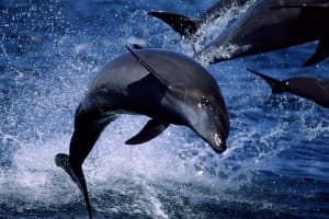"""Photographer Tom Mangelsen is known for his pictures of bears, but he's photographed all kinds of animals, including the Pacific bottlenose dolphins in the Sea of Cortez in the picture """"Flipping Out."""" He captured the image in the Sea of Cortez near Baja, California in 1997. (Tom Mangelsen — click to enlarge)"""
