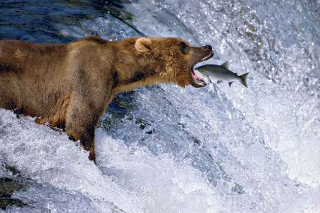 """""""Catch of the Day"""" taken Katmai National Park, Alaska in 1988 is one of photographer Tom Mangelsen's most famous pictures. It is included in his new book """"Last Great Wild Places."""" (Tom Mangelsen — click to enlarge)"""