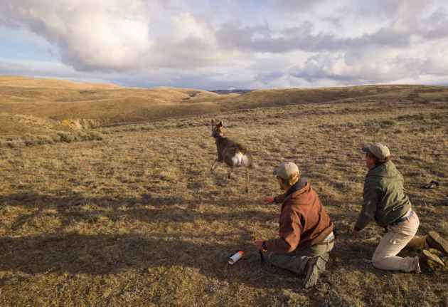 A mule deer is set free to rejoin its herd near Cokeville. Researchers hope the information they gain from studies will preserve one of Wyomng's natural treasures. (Angus M. Thuermer Jr./WyoFile)