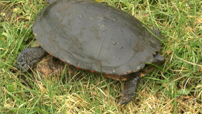 A dead turtle sits near an oil spill site in Vienna, Ohio._36664