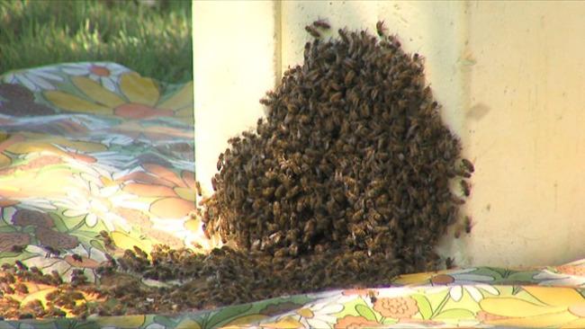 Honey bee swarm_47953