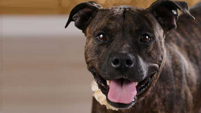 Bonita is a medium, adult Tree Walker Coonhound_Pit Bull Terrier mix._57963
