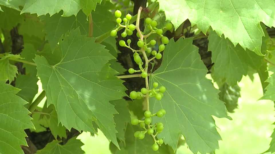 Mastropietro Winery in Berlin Township is losing grapes to rainy weather