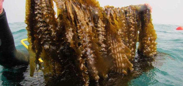 las algas gallegas